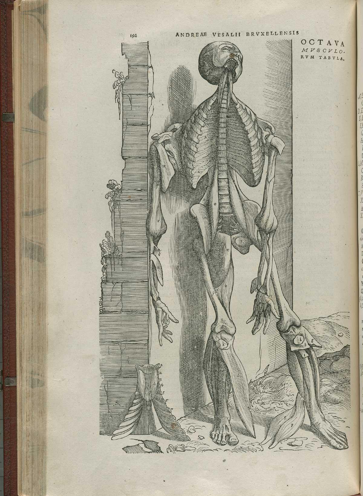 Vesalius. De humani corporis fabrica. p192