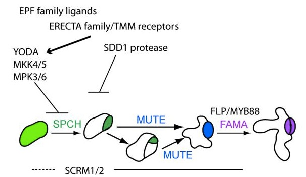 Scheme of major signaling and transcriptional inputs into stomatal development; arrows and T-bars indicate positive and negative effects, respectively, and are directed to the stage in which they have been demonstrated to act.