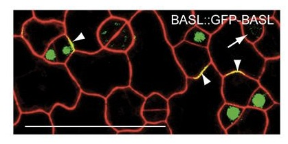 Polarized expression pattern of BASL at cell periphery and in nuclei of asymmetrically dividing stomatal lineage cells