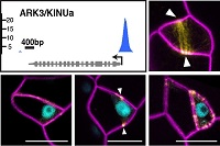 Target of SPEECHLESS control cell divisionsLau, Davies, Chang, Adrian, Rowe, Ballenger, Bergmann, 2014