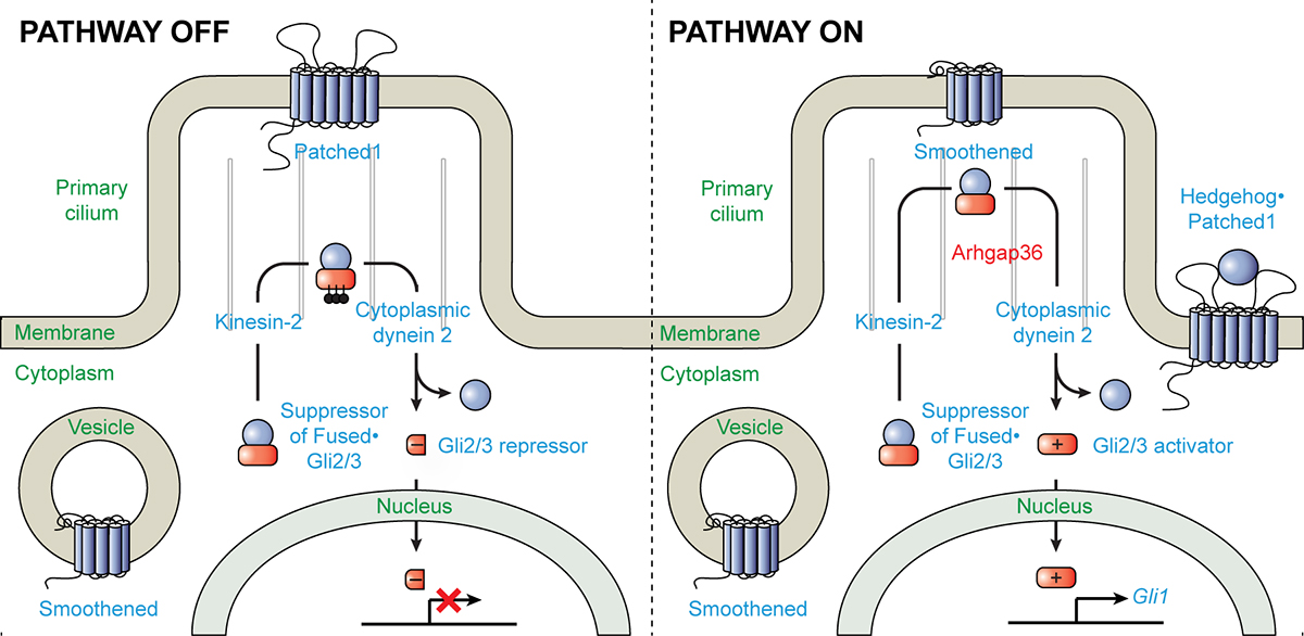 Figure 2. Schematic representation of Hh signaling events within specific cellular compartments.