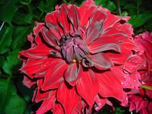 Dahlia Terminology. Dahlia 'Spartacus', a red informal decorative type