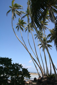 The invasive coconut palm (Cocos nucifera) on Palmyra Atoll in the Central Pacific.