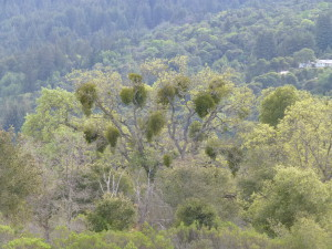 Mistletoe-infected tree at Jasper Ridge.