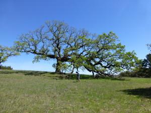 Jomar Barbosa using a GPS unit to draw borders around a mistletoe-infected tree at Jasper Ridge.