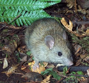 Rattus rattus, recently eradicated from Palmyra Atoll in the Central Pacific.
