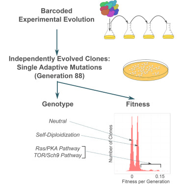 Development of a Comprehensive Genotype-to-Fitness Map of Adaptation-Driving Mutations in Yeast