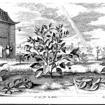Tea bush, from China Illustrata, p. 179.