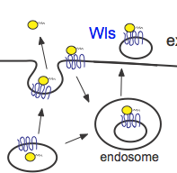 wnt secretion