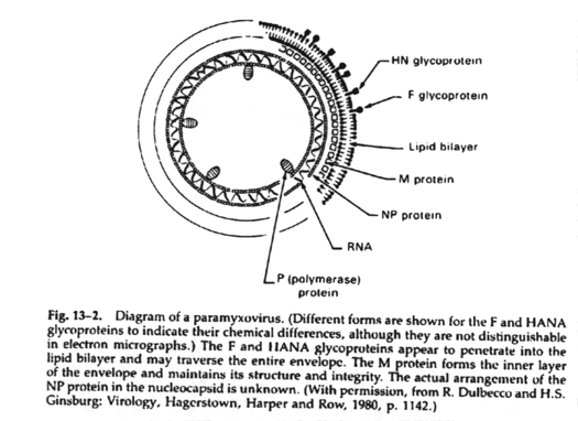 virion diagram paramyxovirus information #8