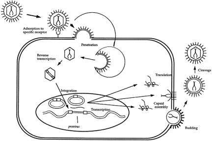 Reverse transcription of retroviruses.