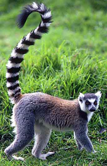 Is Ring Tailed Lemur Nocturnal Or Diurnal
