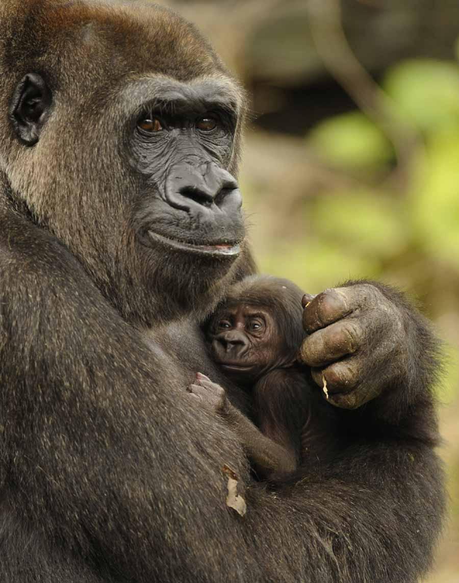 Mountain gorilla  Wikipedia