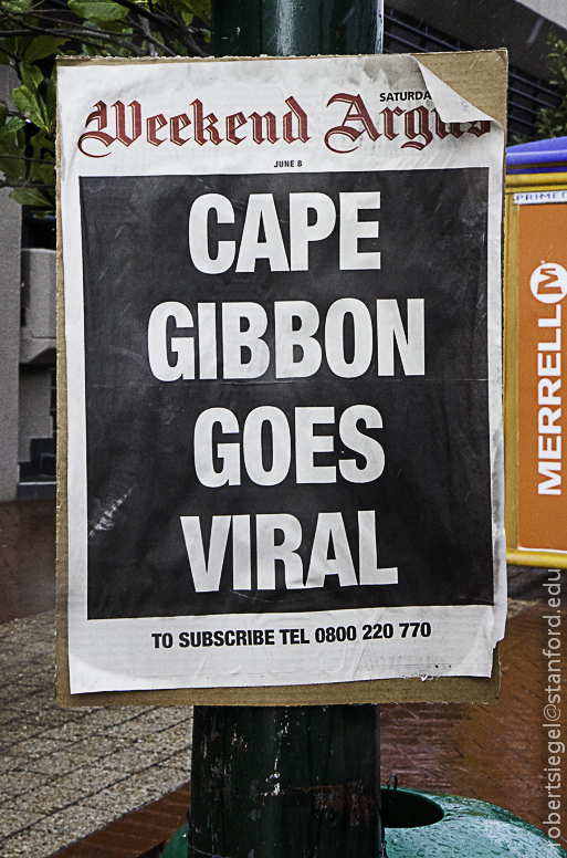 cape gibbon goes viral