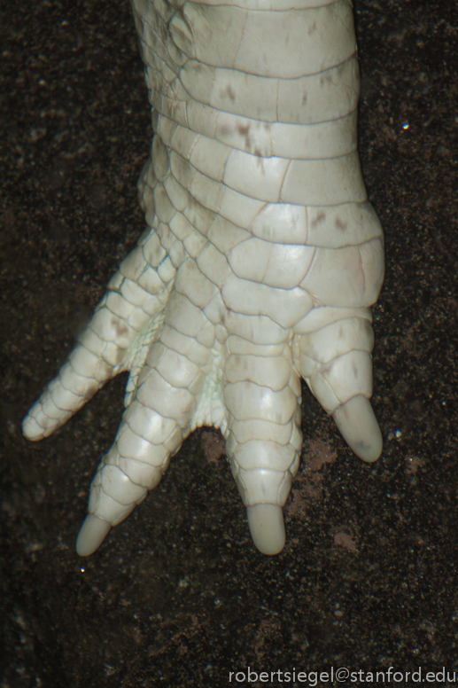 albino alligator hand