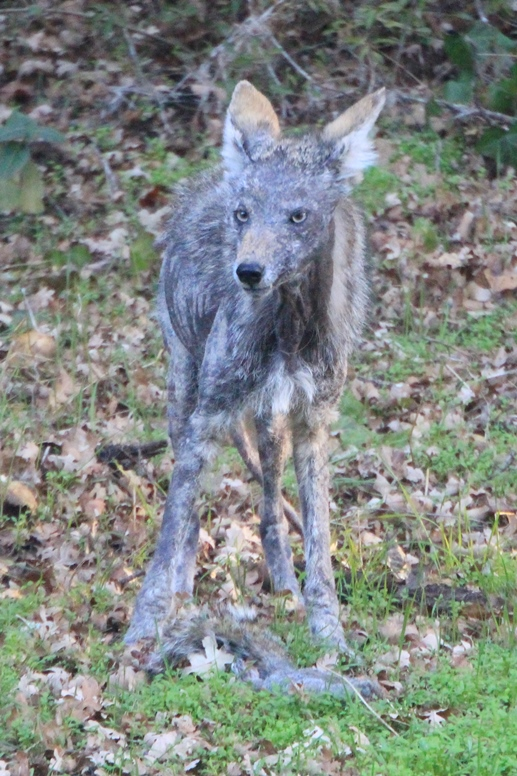 how to help a coyote with mange