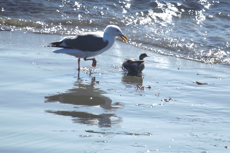 grebe and gull