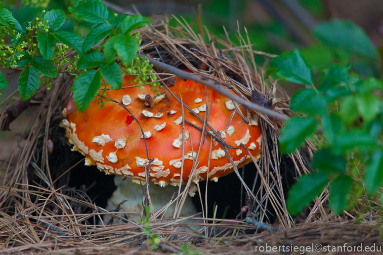 amanita muscaria and poison oak