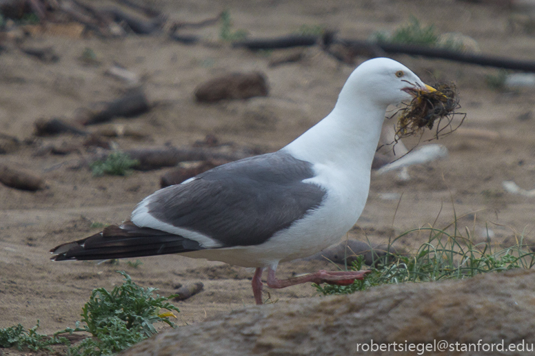 gull with a mouthful