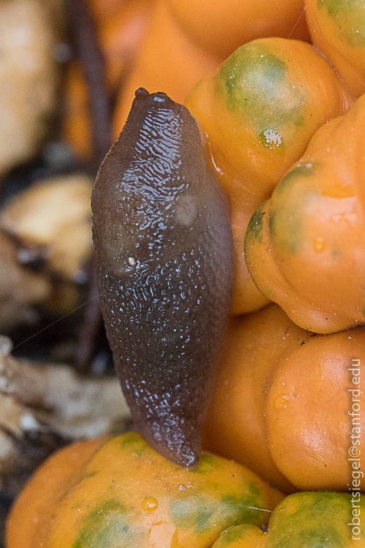 small slug on pumpkin