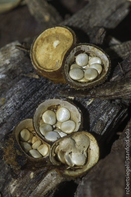 bird's nest fungus