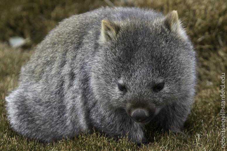 Wombat Wombat