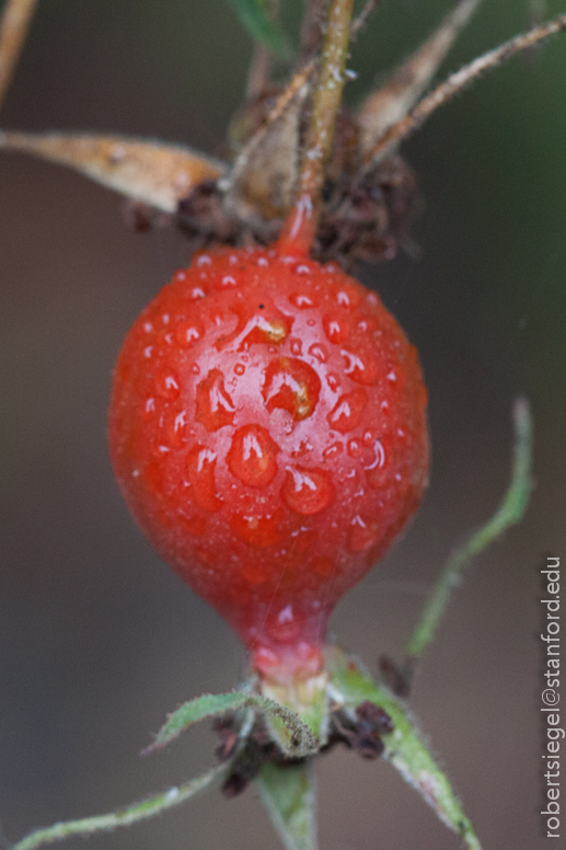 rose hip with dew