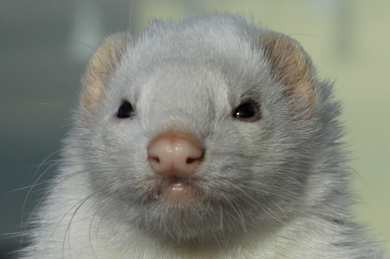 ferret face wallpaper background - photo #29