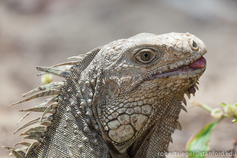 victorian blue tongue lizard care guide