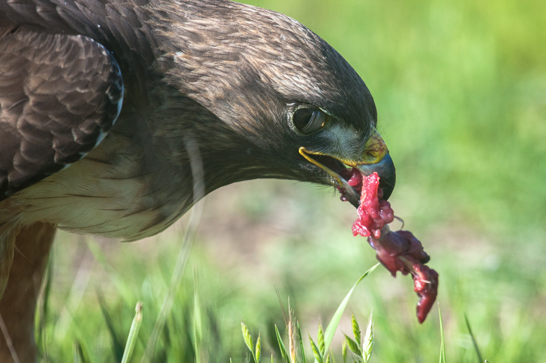 hawk with squirrel meat