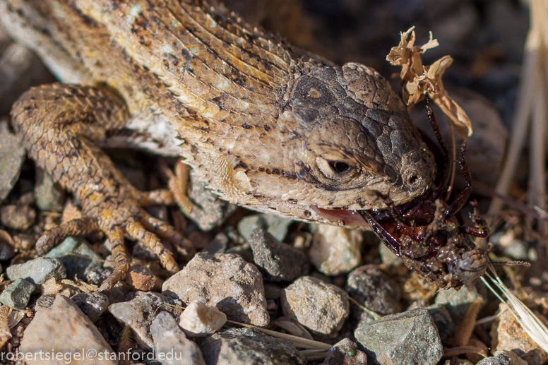 western fence lizard eating beetle
