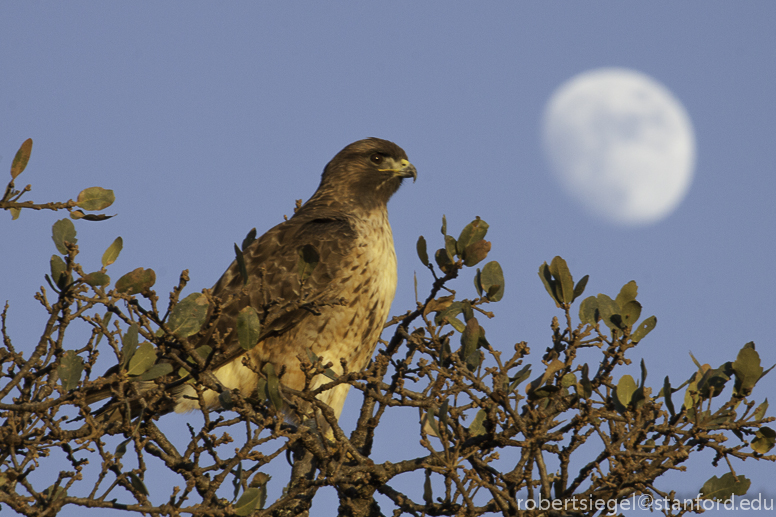 hawk and the moon
