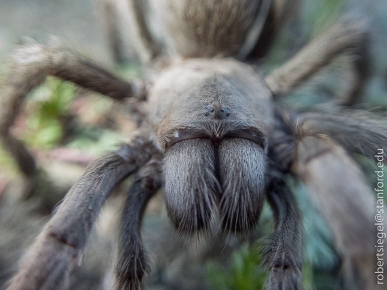 tarantula close