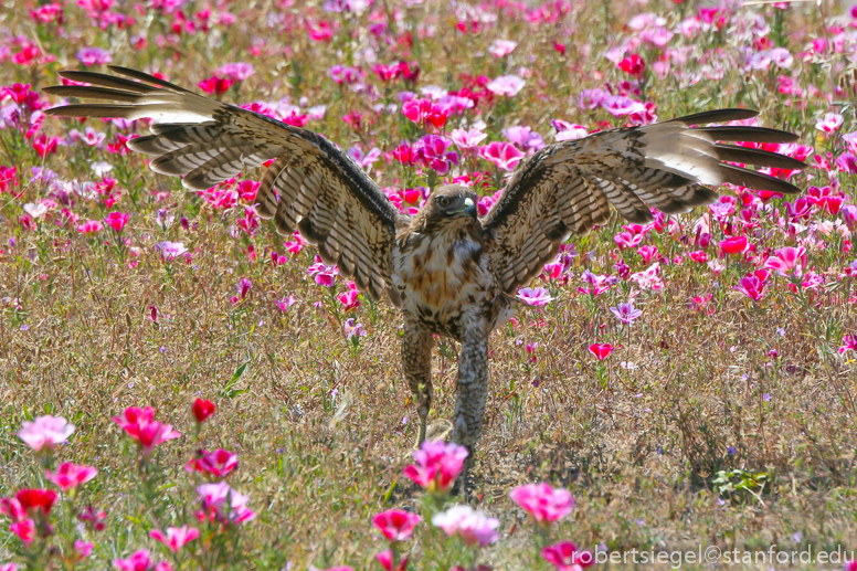 hawk in flowers