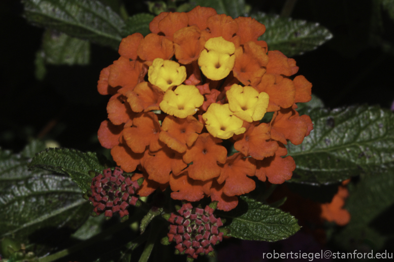 red and yellowlantana