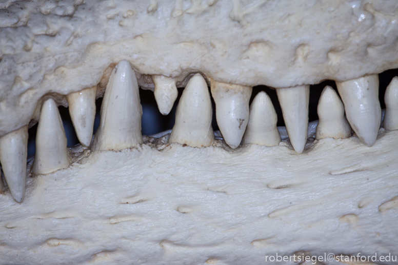 alligator jaw