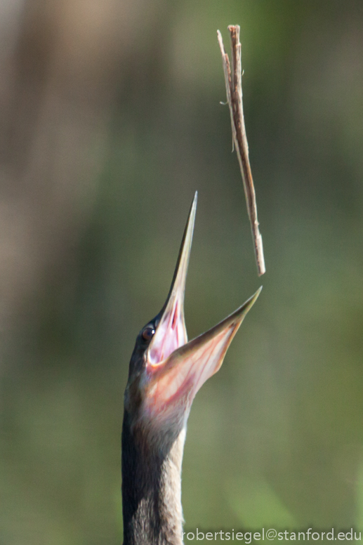 anhinga with stick