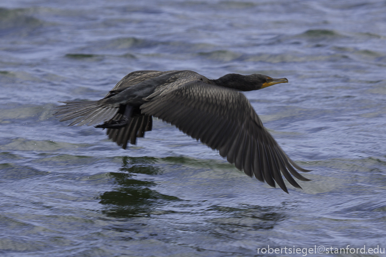 cormorant flying