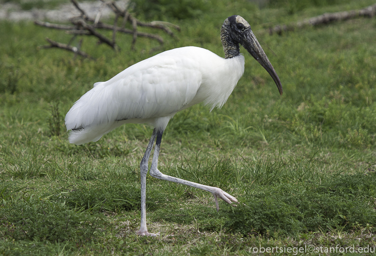 wood stork power step
