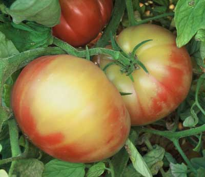 juicy red tomato company essay In his calculation tomato juice is not profitable so red canners essay red brand canners was a medium-size company which canned and.