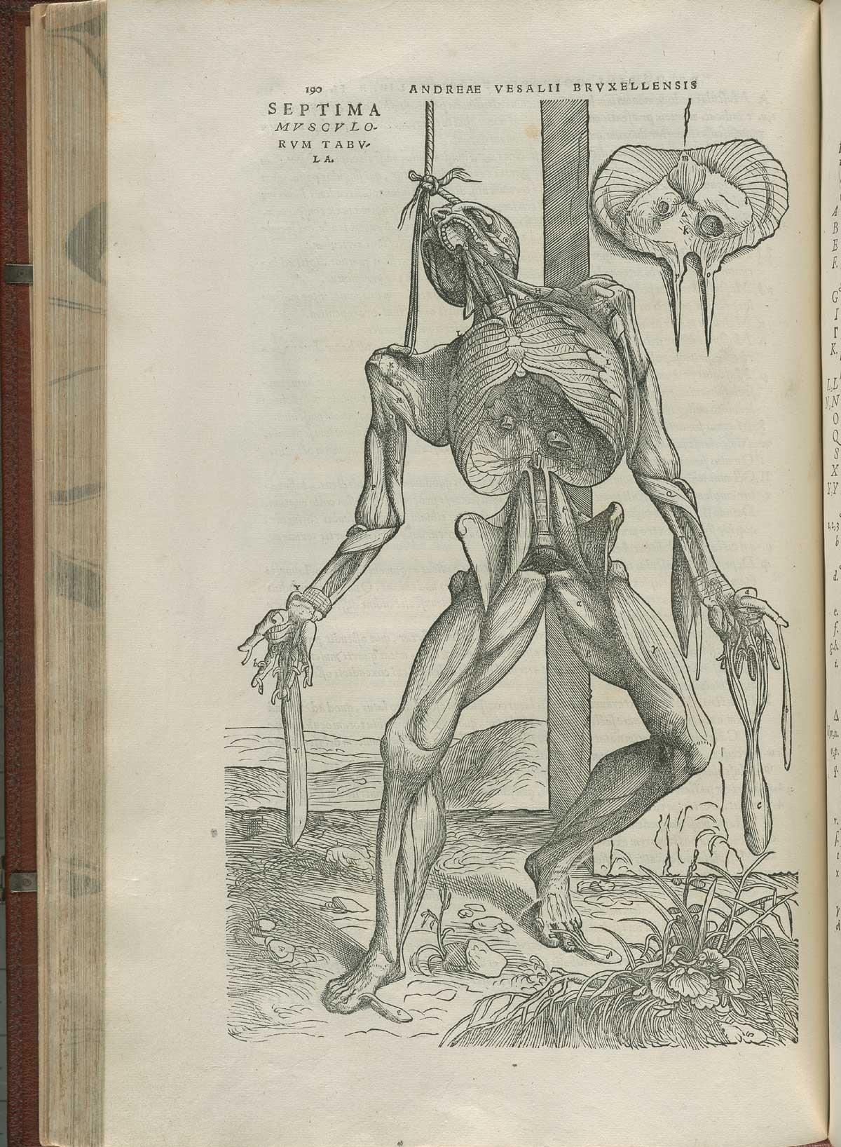 Vesalius. De humani corporis fabrica. p190
