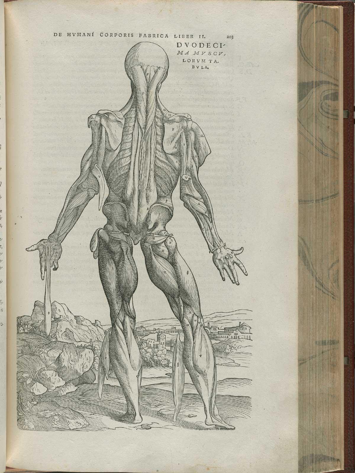 Vesalius. De humani corporis fabrica. p203
