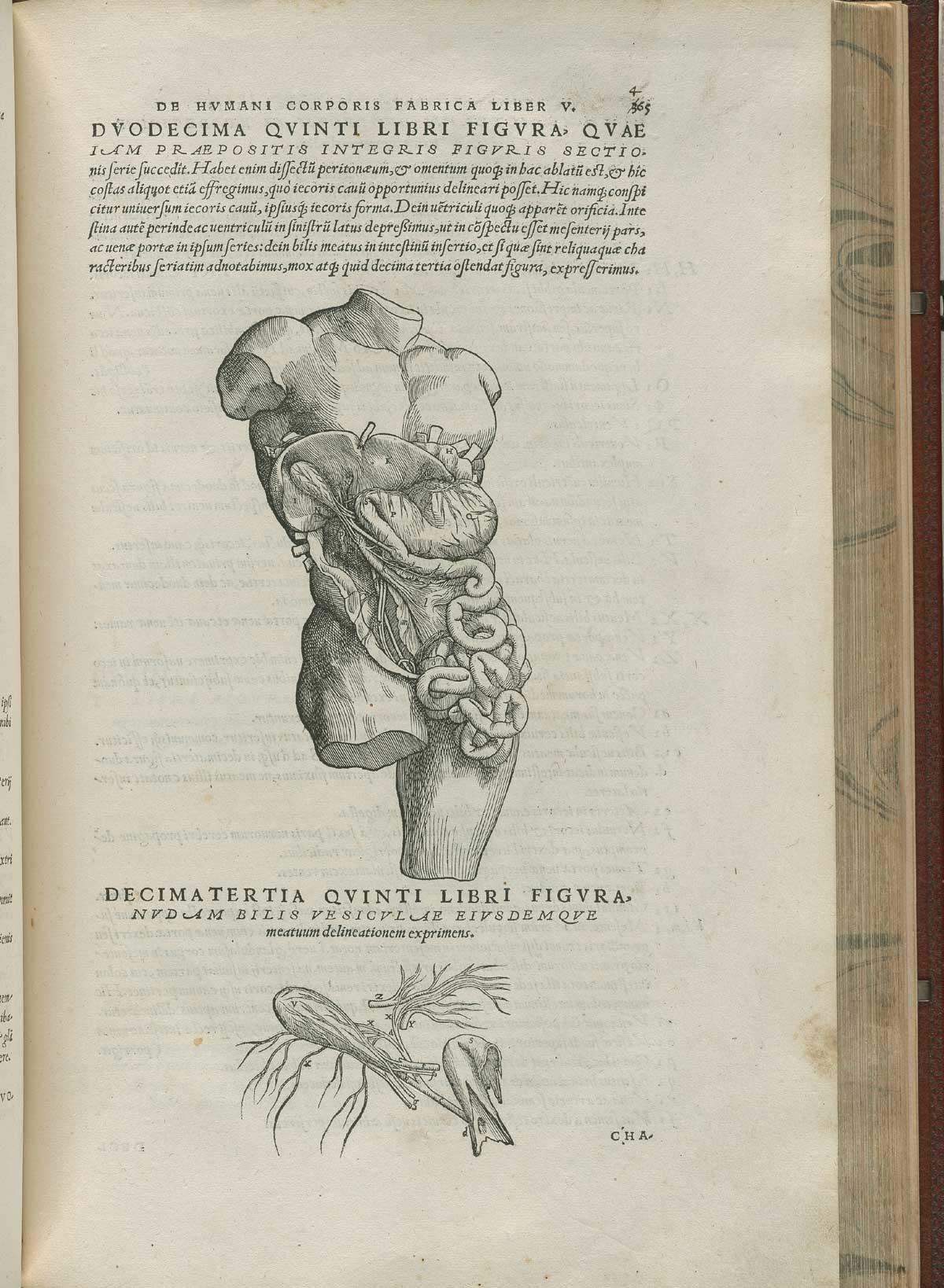 Vesalius. De humani corporis fabrica. p465