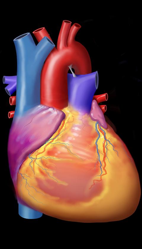 Normal Heart Anatomy Graphic
