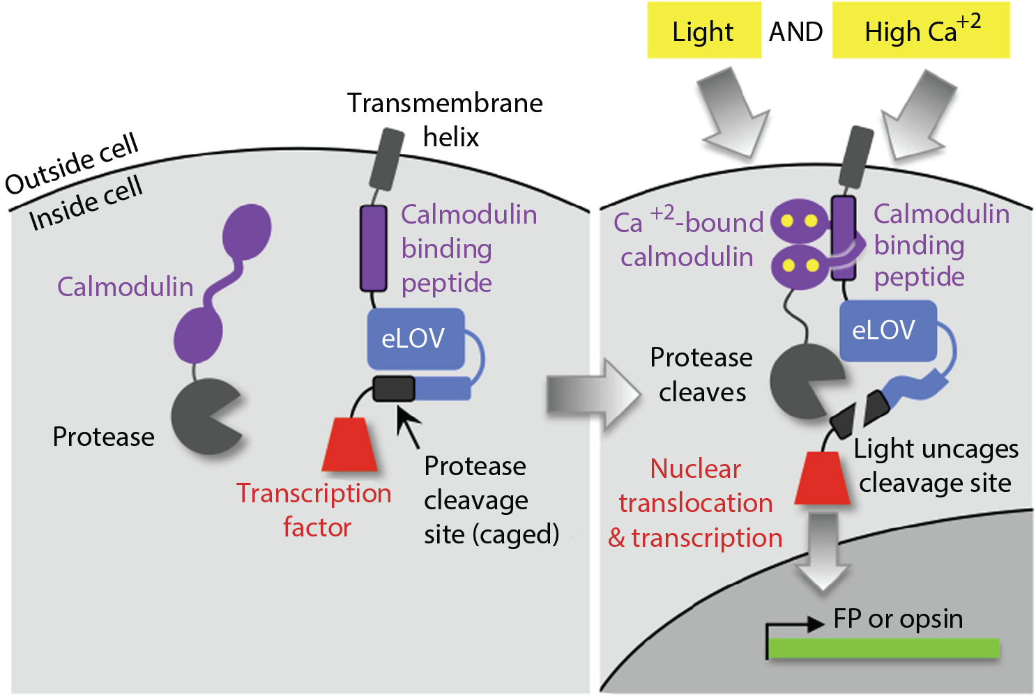 Stanford university office of technology licensing opportunity flare a sensor of coincident calcium and light for detecting and controlling neuronal activity via a transcriptional output ccuart Image collections