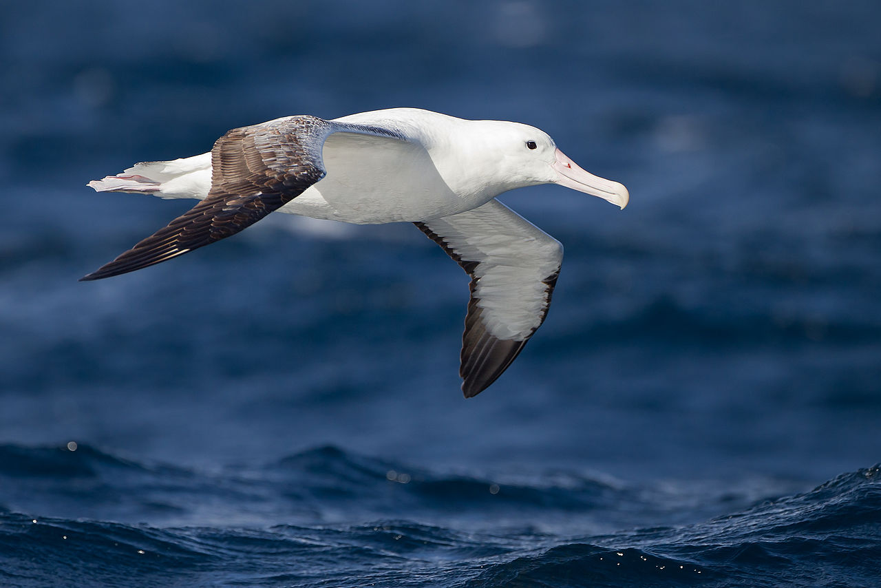 The pictured birds are a different species of albatross than the shy albatross Alistair studies.