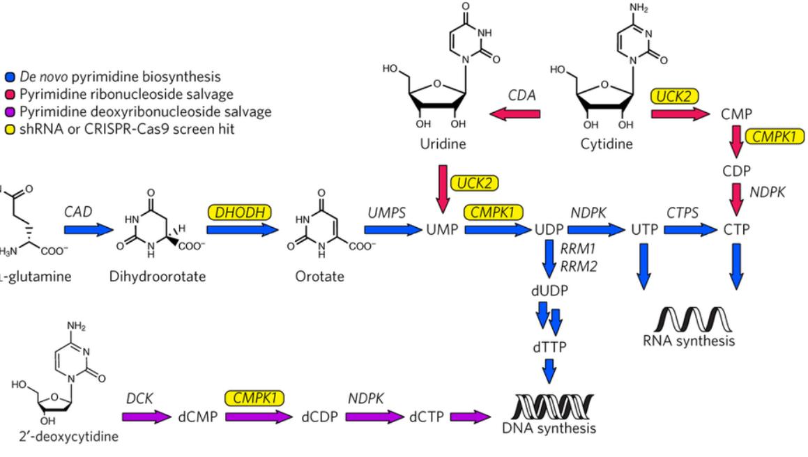 pyrimidine synthesis khosla lab