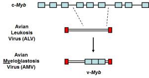 v-myb transduction