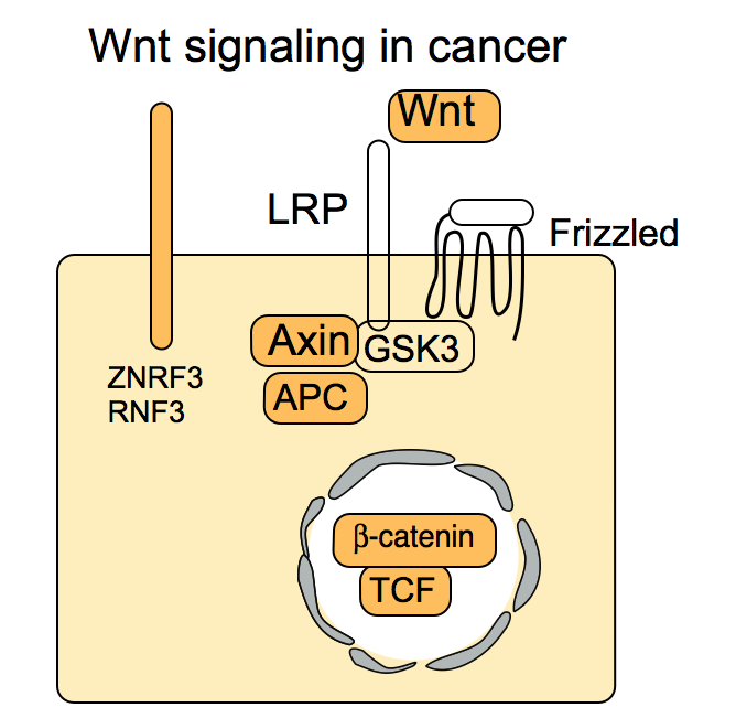 wnt_in_cancer
