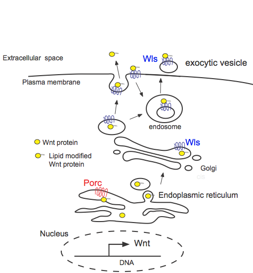 secretion of wnt proteins the wnt homepage